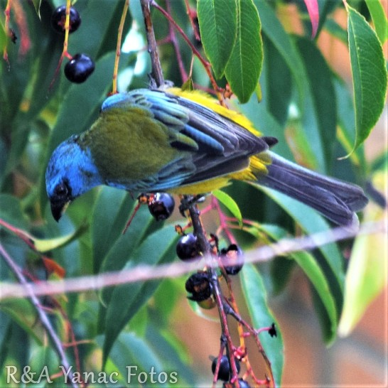 Blue & Yellow tanager