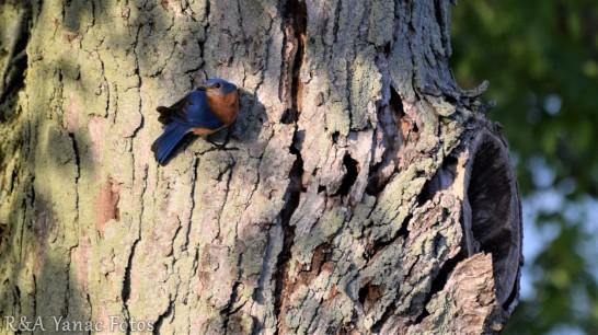 Eastern bluebird (OH)