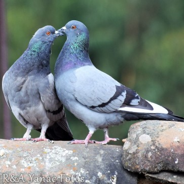 common pigeons