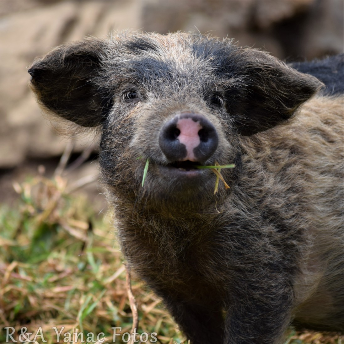 curly haired Peruvian pig