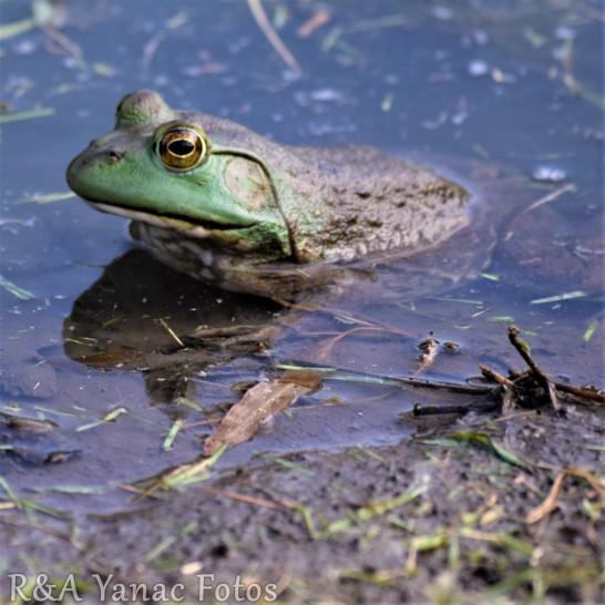 Ohio bullfrog