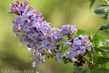 Ohio lilac bush