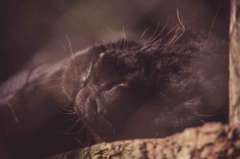 jaguar whiskers