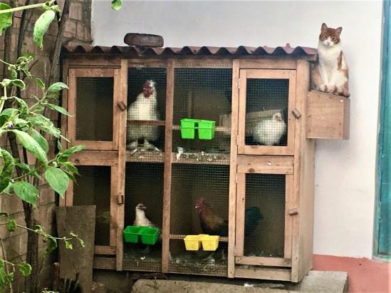 chickens & cat