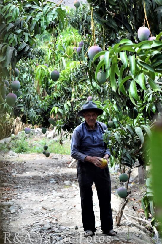 Julio's mango orchard